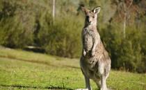 Kangaroo on the run in Jupiter Farms