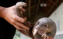 nCoV Potential Link to Pangolins