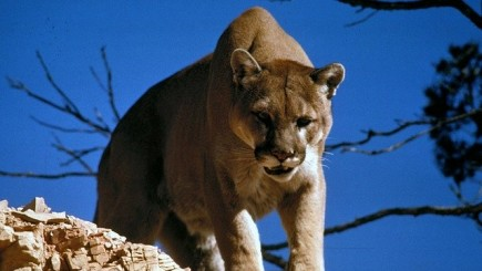 Mountain Lion Viciously Attacks a Young Girl in a Park