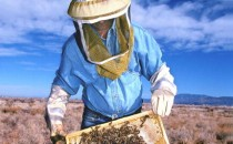 A Beekeeper Holds Honeybees That Are Helping Researchers At Sandia National Laboratories And The University Of Montana Determine Whether Foraging Bees Can Detect Buried Landmines.