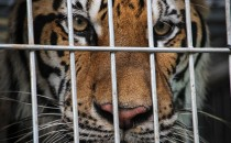 A tiger peers through the bars of its cage at the Wat Pha Luang Ta Bua Tiger Temple on June 1, 2016 in Kanchanaburi province, Thailand.