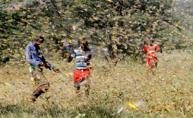 African Locust Swarm