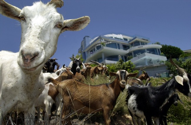 GOATS PROTECT HOUSES FROM FIRE