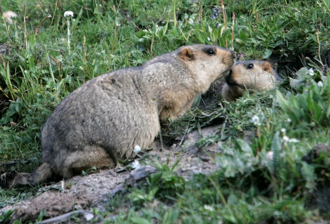 Marmots meet at entrance of their lair in Yushu