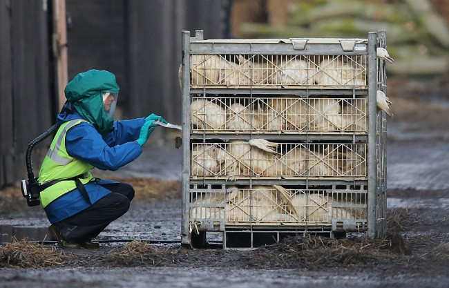 Culling Expected To Begin On Yorkshire Duck Farm With Bird Flu Outbreak