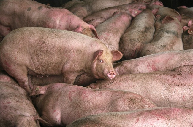 China's Xinjiang Province is Hit Anew by Another African Swine Fever Outbreak