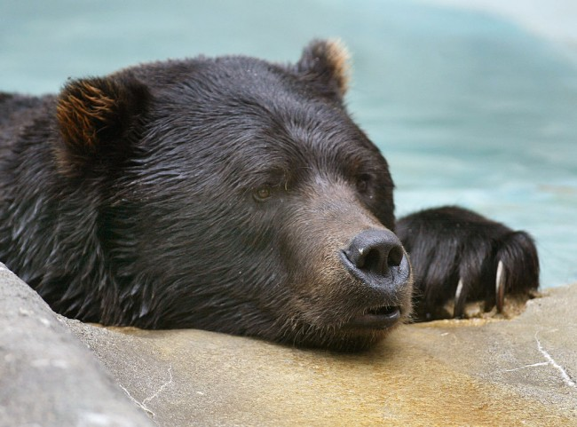 Bears Relax At Zoo On First Full Day Of Fall