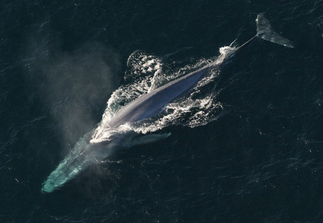 An unknown Pygmy Blue Whale Population is Found by Bomb Detector Microphones Unexpectedly