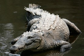 Massive Man Eating Crocodile Reported to Have Eaten 300 People Lurking in East Africa