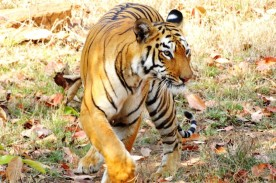 Man's Head Saved Helmet when Tiger bites his Head, his Friends Died when Ferociously Attacked