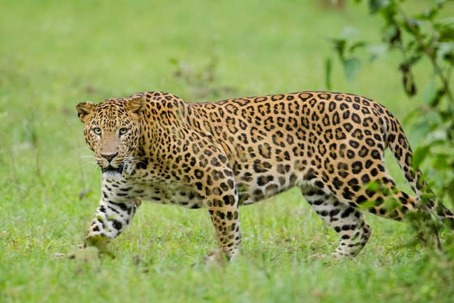 Vicious Leopard Attacked a Woman While Sleeping, but Somehow Survived