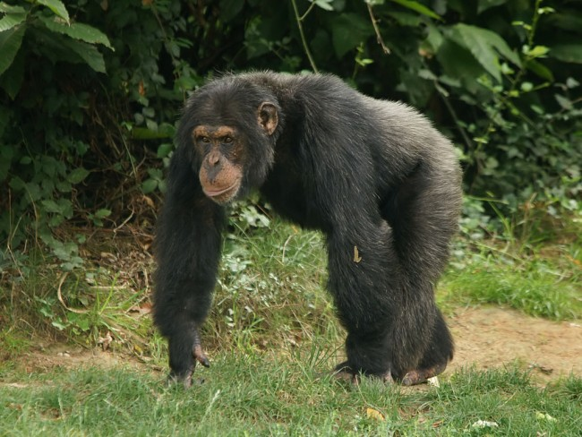 Chimpanzee Massacred and Cannibalized Gorillas in Africa seen the First Time, Scientists Blame Global Warning