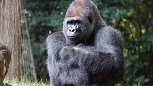 Gorillas in Disney World were seen gathering around a snake found inside their enclosure
