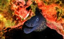 Living eel