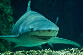 Large Lemon Shark Bites Fisherman but is Driven Off, Spent Ten-Hours in Agony While Companions Feared his Survival