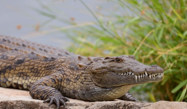 Crocodile Grabbed Young Indonesian Girl While Swimming, She disappeared After her Friends Saw the Monster Nearby